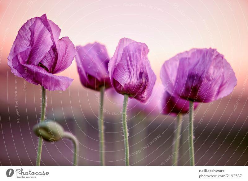 Mohnfed Natur Pflanze Farbe Blume Leben Umwelt Blüte Wiese natürlich Garten Park Feld Wachstum Idylle Blühend Romantik