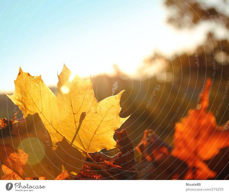 Herbstlaub Umwelt Natur Pflanze Sonne Sonnenlicht Blatt gelb gold Ahornblatt Jahreszeiten Farbfoto Außenaufnahme Menschenleer Textfreiraum rechts