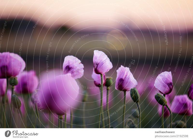 Lila Mohn Natur Sommer Pflanze schön Farbe Landschaft Blume Leben Umwelt Frühling Blüte natürlich Wiese Garten grau Park