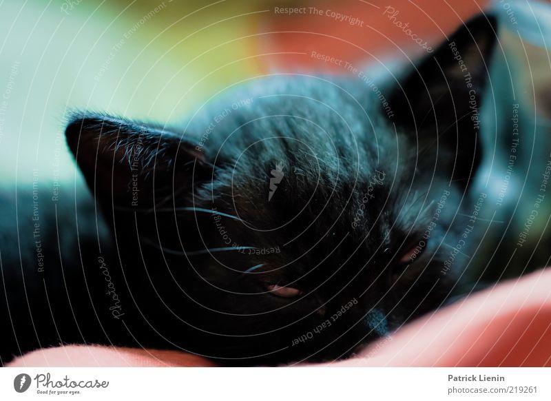 schelmischer Blick schön schwarz Tier Erholung Katze Denken lustig elegant schlafen Ohr weich Tiergesicht liegen beobachten Neugier