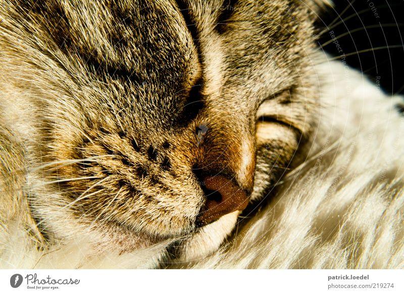Der Katze liebstes Hobby Natur Tier Erholung träumen Zufriedenheit Nase schlafen nah Tiergesicht liegen Fell niedlich genießen Geborgenheit Haustier