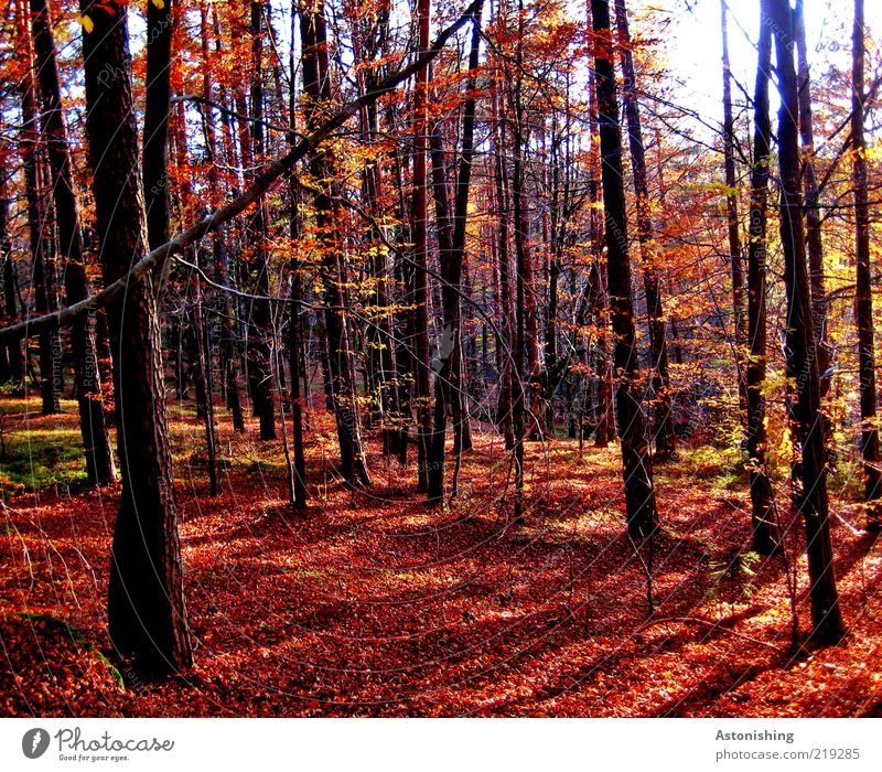 der rote Wald Natur Baum Pflanze Blatt schwarz Herbst Umwelt Landschaft Wetter braun Erde hoch stehen Macht