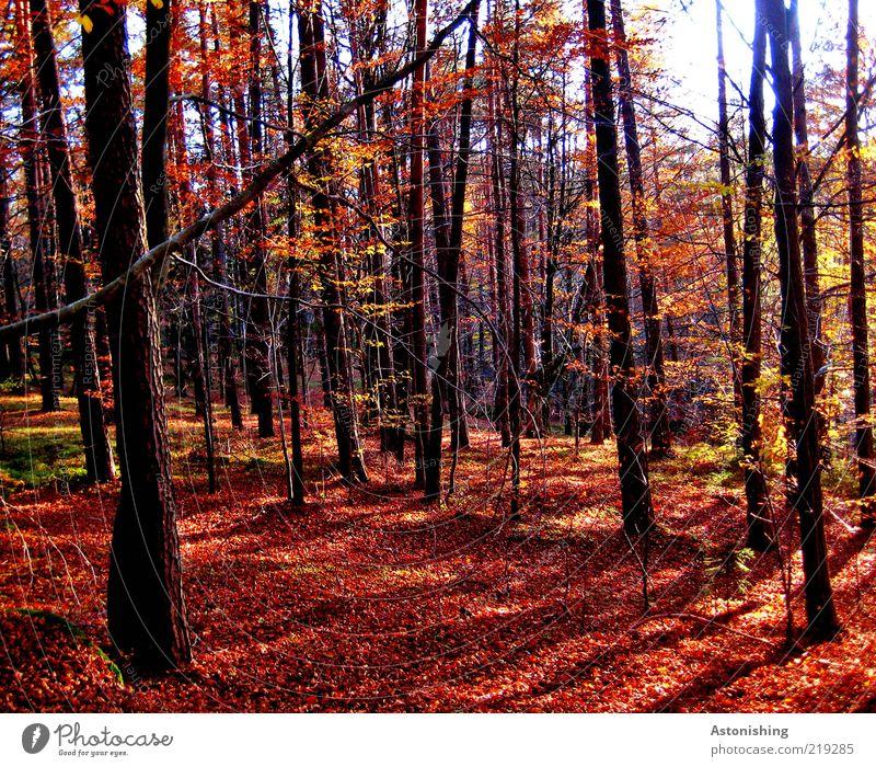 der rote Wald Umwelt Natur Landschaft Pflanze Erde Herbst Wetter Schönes Wetter Baum Blatt stehen hoch braun schwarz Baumstamm Mühlviertel Boden Ast Geäst Zweig