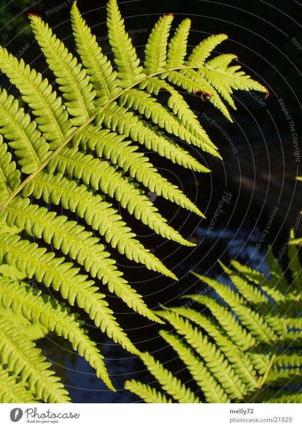 Farn grün Pflanze Blatt Echte Farne