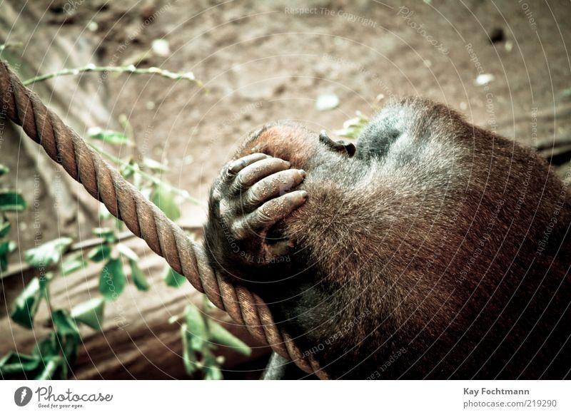 ....einfach mal den bimbam baumeln lassen.... Tier Wildtier Fell Zoo Affen Gorilla Erholung liegen schlafen Coolness wild braun gelb Kraft Langeweile Farbfoto