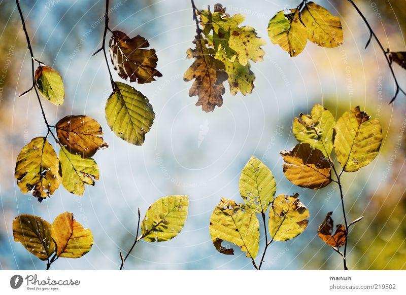 Integration Natur schön Baum Blatt Herbst oben Perspektive Wandel & Veränderung natürlich Zweig Herbstlaub Zweige u. Äste welk Eiche herbstlich