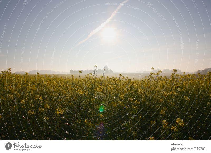 Schöner Morgen Natur Landschaft Pflanze Sonnenaufgang Sonnenuntergang Nebel Nutzpflanze gelb Farbfoto Lichterscheinung Sonnenlicht Gegenlicht Raps Rapsfeld
