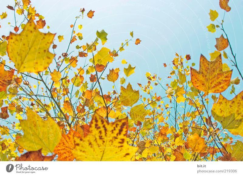 Frisch in den Herbst...(IX) Natur Himmel blau Pflanze Blatt gelb oben Luft Stimmung orange Umwelt gold Perspektive Wandel & Veränderung Vergänglichkeit