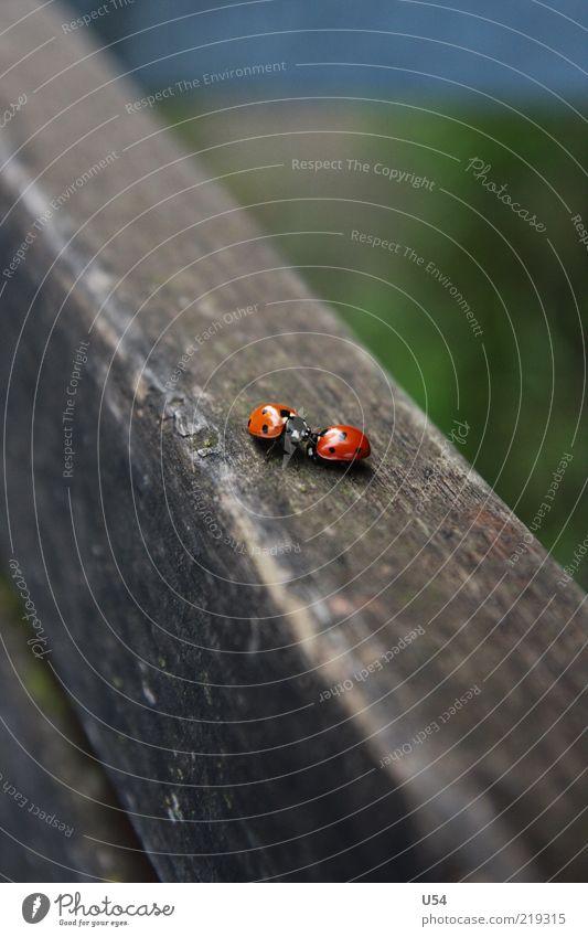 Je t'aime Käfer 2 Tier Tierpaar Freude Glück Optimismus Tierliebe Verliebtheit Lust Farbfoto Außenaufnahme Nahaufnahme Tag Holzuntergrund Menschenleer