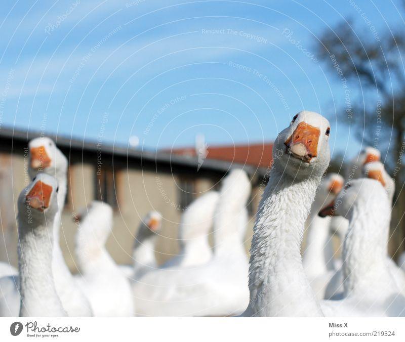 guck guck Gack Gack Tier Nutztier Vogel Tiergruppe Neugier weiß Gans Geflügelfarm Tierzucht Federvieh Blick Bauernhof Farbfoto Außenaufnahme Nahaufnahme