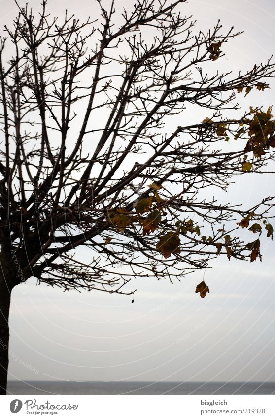 Herbstbaum II alt Baum Meer ruhig Blatt grau Horizont Ende Vergänglichkeit Ast Ostsee Baumkrone Zweig schlechtes Wetter Zweige u. Äste