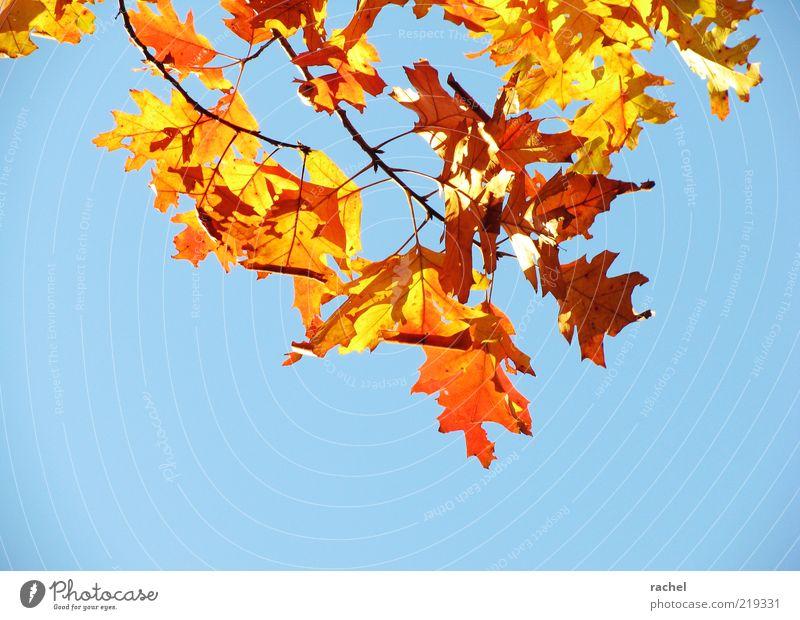 Prachtherbst Natur Himmel Herbst Schönes Wetter Blatt blau mehrfarbig gold prächtig Jahreszeiten Laubbaum Roteiche Eiche Herbstlaub herbstlich Herbstbeginn