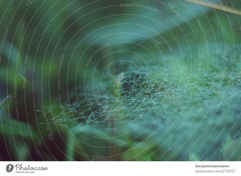 netz 3 Pflanze Grünpflanze Spinnennetz Weben gewebt Falle beklemmend grün dunkel Farbfoto Außenaufnahme Menschenleer Textfreiraum links Textfreiraum oben