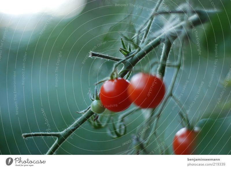tomaten Pflanze Grünpflanze Gemüse Tomate rot lecker grün Farbfoto Außenaufnahme Menschenleer Textfreiraum links Morgen Licht Unschärfe Schwache Tiefenschärfe