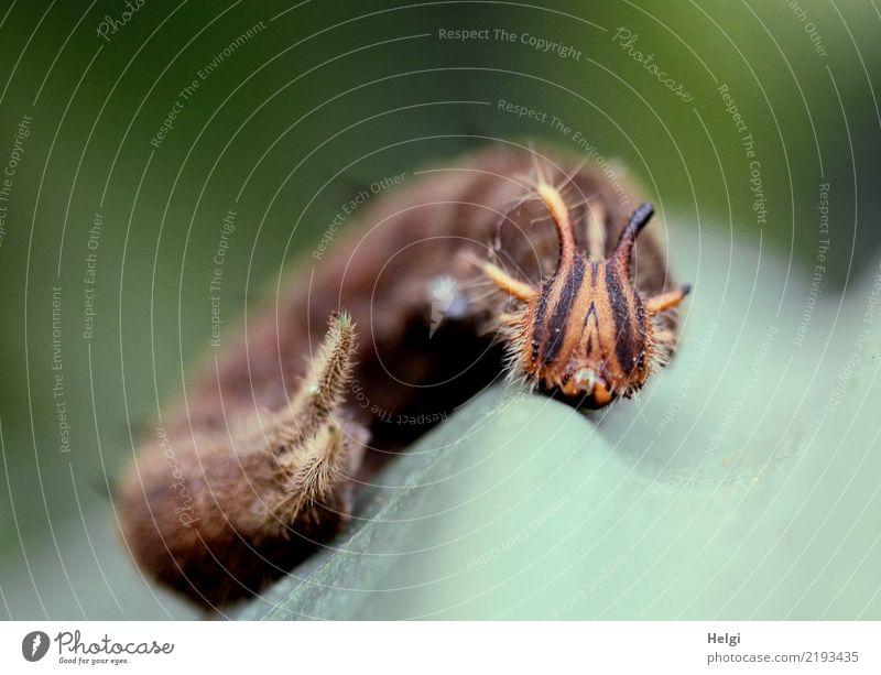 aus mir wird mal ... Umwelt Natur Pflanze Tier Blatt Bananenblatt Raupe Bananenfalter 1 Tierjunges festhalten liegen außergewöhnlich einzigartig klein natürlich