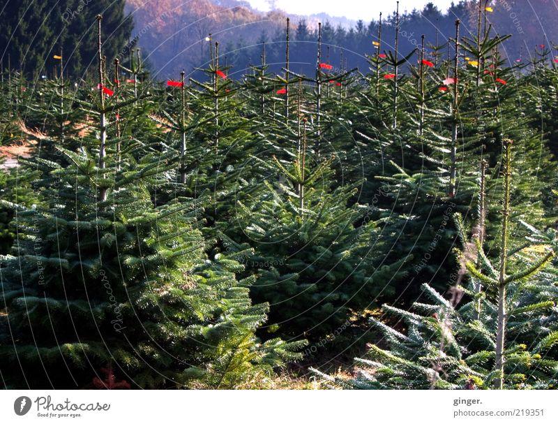 Wir warten aufs Christkind Natur grün Pflanze Baum Landschaft viele Kultur Weihnachtsbaum Tanne Baumkrone Tradition Forstwirtschaft Nadelbaum Ritual Wald
