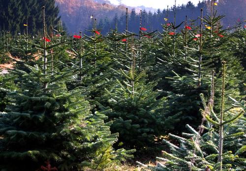 Wir warten aufs Christkind Natur Landschaft Pflanze Baum viele grün Tanne Weihnachtsbaum Schonung Baumschule Nadelbaum Tradition Ritual Kultur gezüchtet