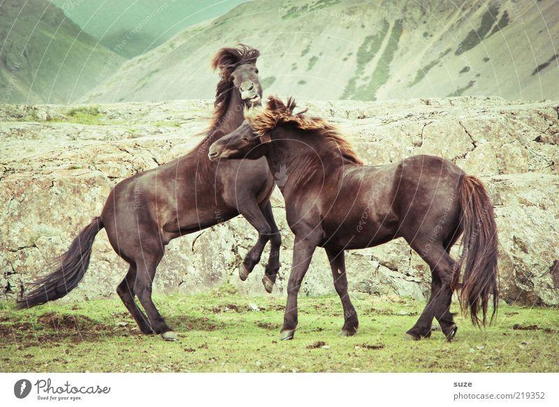 Die tun nur so als ob Natur Landschaft Tier Wind Wiese Felsen Berge u. Gebirge Nutztier Wildtier Pferd 2 Tierpaar kämpfen laufen ästhetisch natürlich wild braun