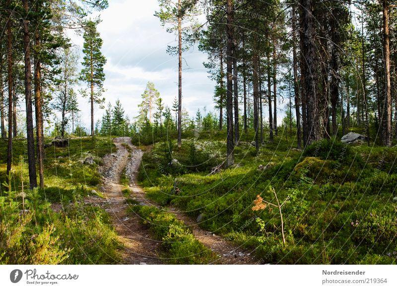 Einer von Vielen Natur Landschaft Pflanze Sommer Schönes Wetter Baum Wald Wege & Pfade authentisch Erholung Stimmung Fußweg Waldboden Kiefer Schweden