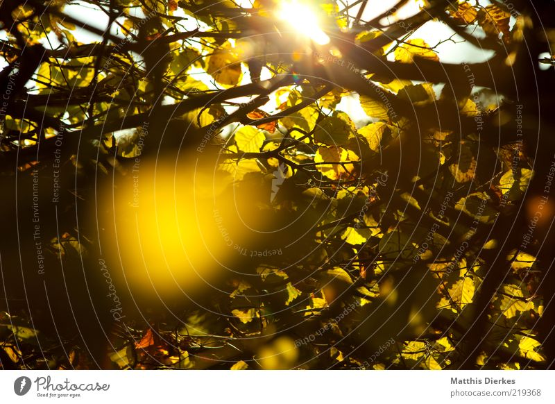 Hecke Umwelt Natur Pflanze Herbst Schönes Wetter ästhetisch einzigartig gelb gold Idylle Romantik Sträucher Gegenlicht Abenddämmerung Farbfoto Außenaufnahme