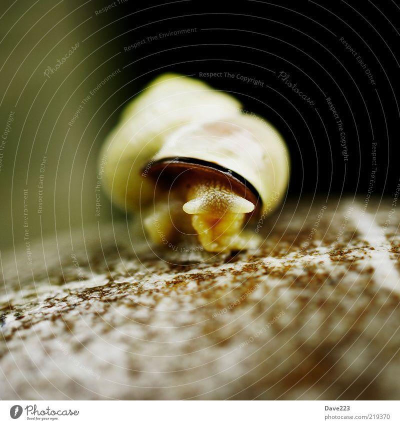 Komm raus kleine Schnecke Stein Tier Wildtier Schneckenhaus 1 Blick schleimig braun Farbfoto Außenaufnahme Makroaufnahme Tag Schwache Tiefenschärfe Tierporträt