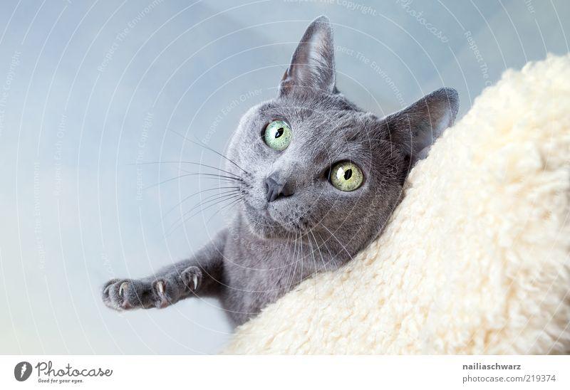 Katzenblick blau Tier oben grau ästhetisch Tiergesicht Neugier niedlich silber Haustier greifen Krallen kurzhaarig Schnurrhaar Katzenauge