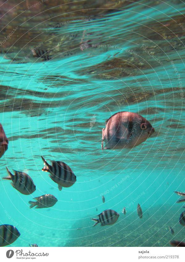 striped fishes Natur Wasser Meer Tier Wellen Fisch Tiergruppe Schwimmen & Baden Neugier Wildtier türkis Unterwasseraufnahme Schwarm Fischschwarm