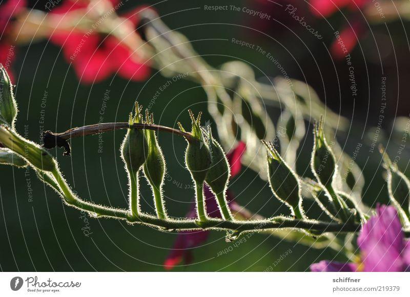 Abendschimmern schön Blume grün Pflanze rot ruhig Blüte Stimmung Sträucher Stengel Blühend leuchten Abenddämmerung Blütenknospen schimmern Pflanzenteile