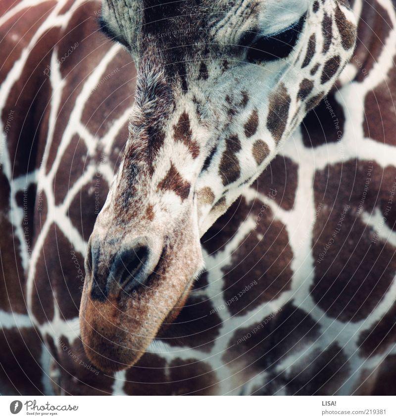 antilope weiß Tier braun ästhetisch Tiergesicht Fell Zoo Wildtier Schnauze Anschnitt Bildausschnitt scheckig gefleckt Giraffe Nüstern