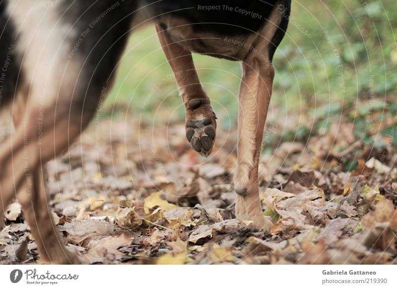 Pirsch. Hund Natur Blatt ruhig Tier Herbst braun stehen Fell Jagd Haustier Pfote Anschnitt Bildausschnitt stagnierend Haushund
