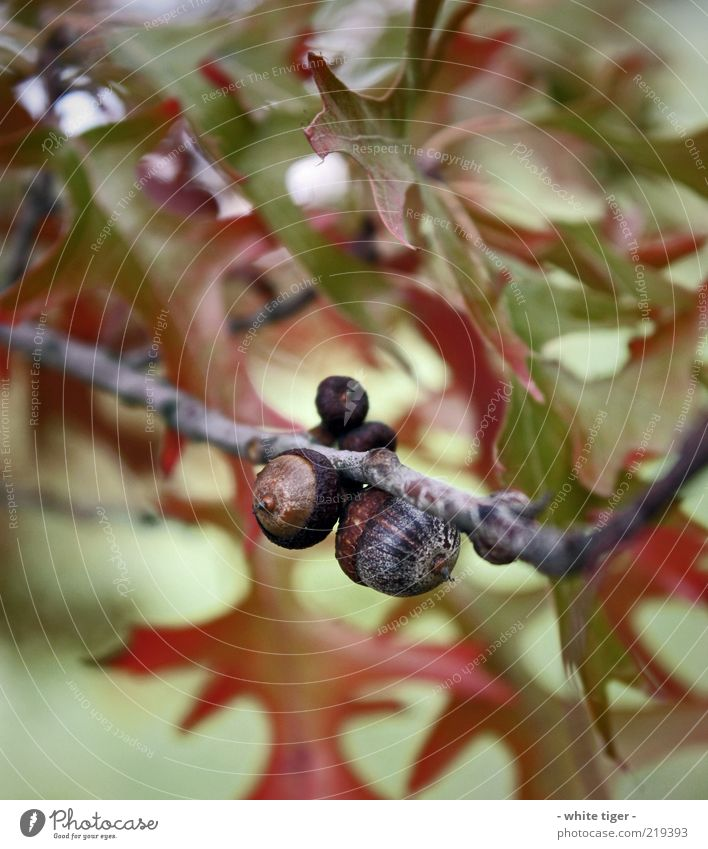 Eichel Natur Blatt Eicheln braun grün rot Wandel & Veränderung Ast Herbst Farbfoto mehrfarbig Außenaufnahme Nahaufnahme Detailaufnahme Makroaufnahme