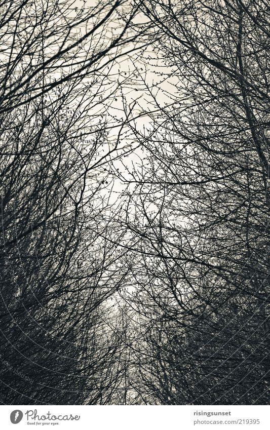 Wald & Bäume Natur weiß Baum Winter schwarz Wald dunkel kalt grau Stimmung Hintergrundbild Umwelt ästhetisch Netzwerk Klima Ast