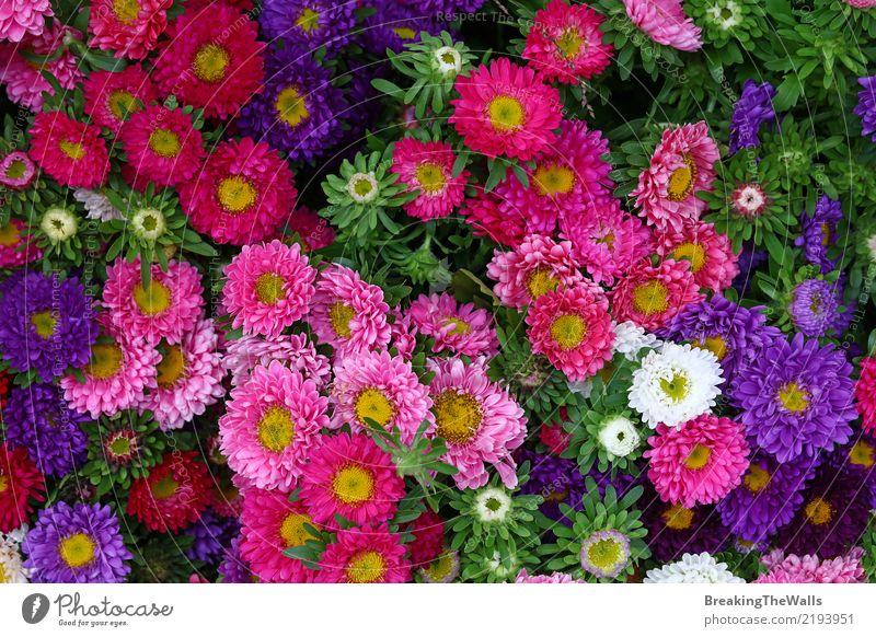 Hintergrund von Mehrfarbenasterblumen schließen oben Natur Pflanze grün weiß Blume Blatt Blüte Herbst klein Garten Feste & Feiern rosa Freizeit & Hobby Wachstum