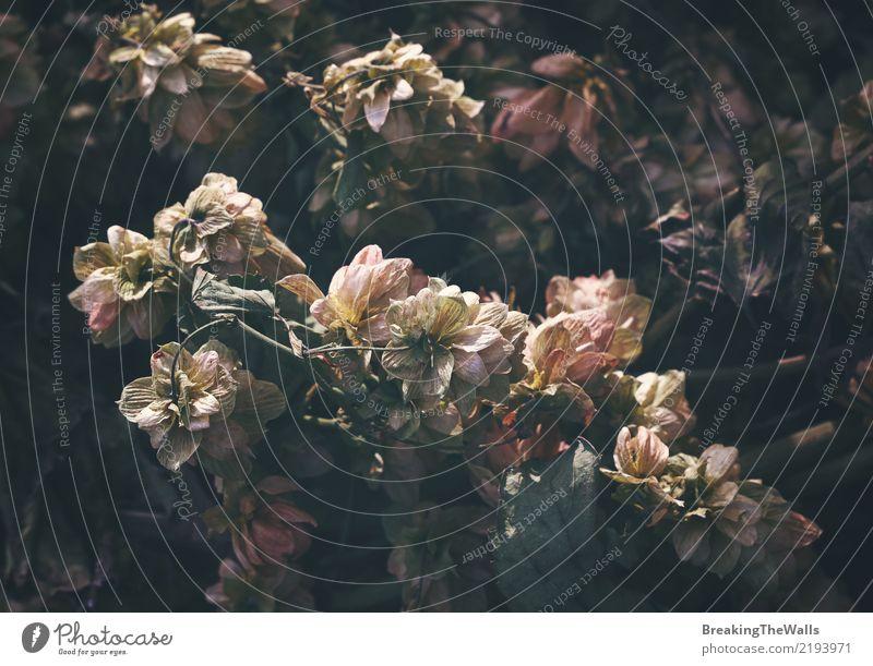 Blumenstrauß von verblaßten verwelkten Trockenblumen im Retrostil Natur alt ästhetisch elegant natürlich retro rosa weiß schön altehrwürdig verblüht verdorrt