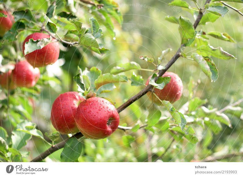 rote Äpfel Frucht Sommer Garten Natur Landschaft Pflanze Herbst Baum Tropfen Wachstum frisch natürlich saftig grün Farbe Obstgarten Lebensmittel Bauernhof reif