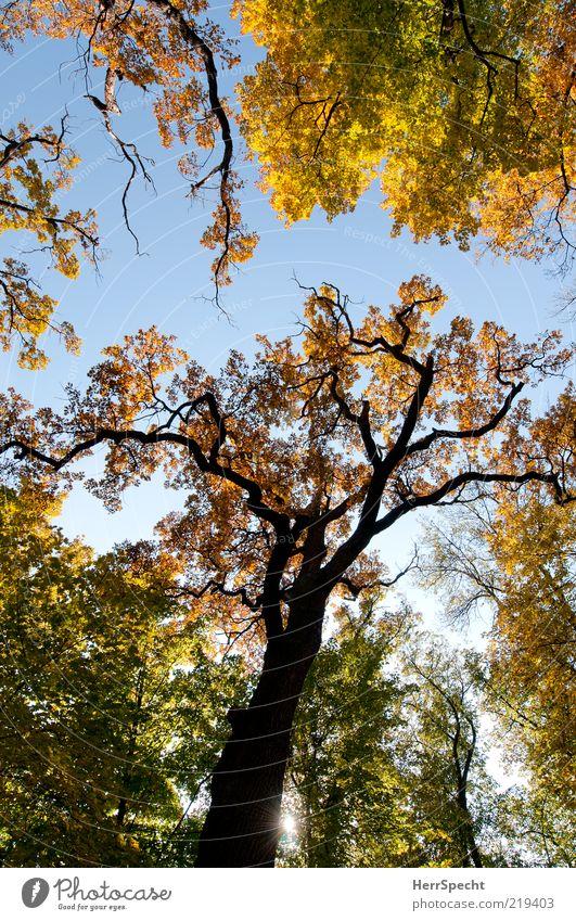 Jahreszeitgemäß Natur Baum grün Blatt gelb Wald Herbst braun Wandel & Veränderung Schönes Wetter Herbstlaub Eiche Zweige u. Äste herbstlich dehydrieren Wolkenloser Himmel