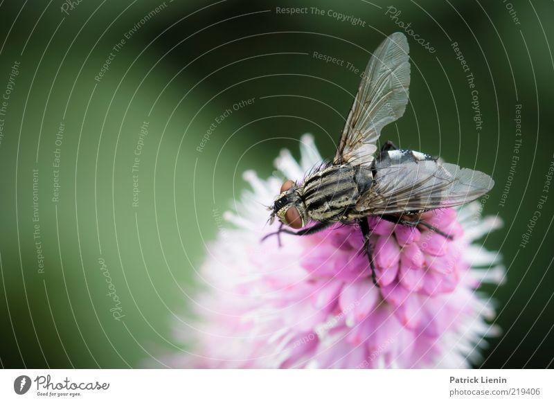 just another fly Natur schön Blume grün Pflanze Sommer Auge Tier Blüte träumen Beine rosa Fliege Umwelt sitzen ästhetisch