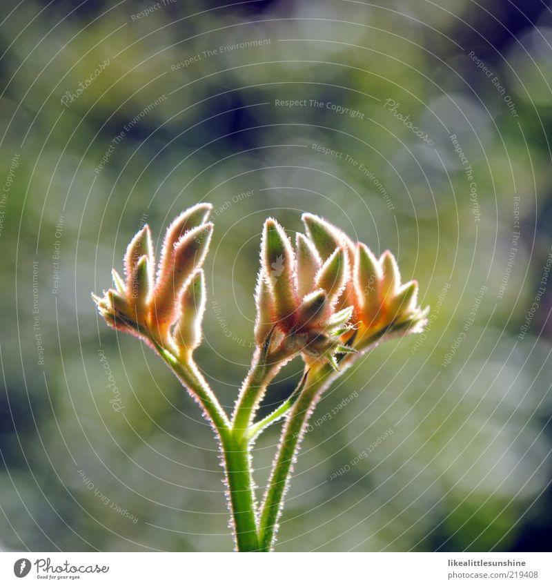 Anigozanthos Natur Pflanze Sonnenlicht Blume Blüte Topfpflanze Blühend Wachstum Farbfoto Außenaufnahme Nahaufnahme Detailaufnahme Menschenleer Textfreiraum oben
