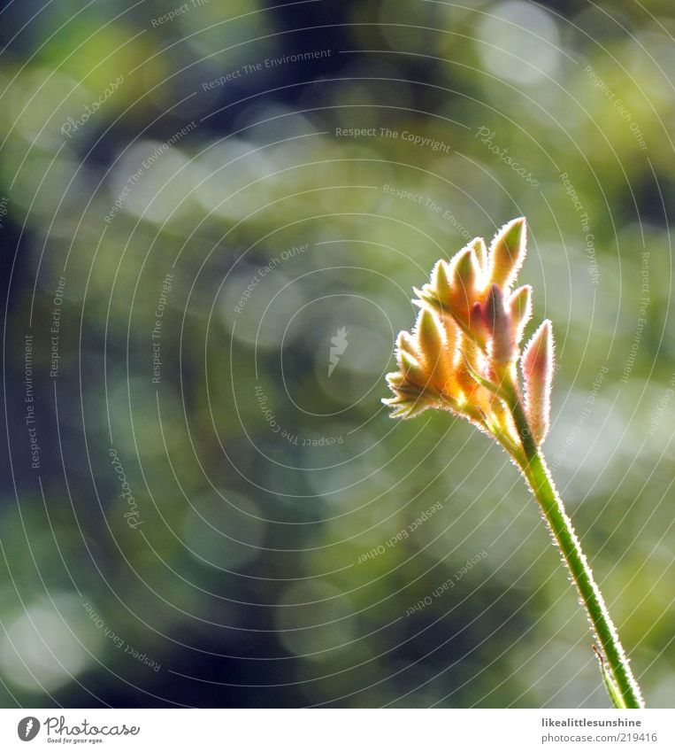 erleuchtete Anigozanthos 3 Natur Blume grün Pflanze gelb Blüte grau rosa Stengel Blühend Schönes Wetter Blütenknospen Textfreiraum links Topfpflanze