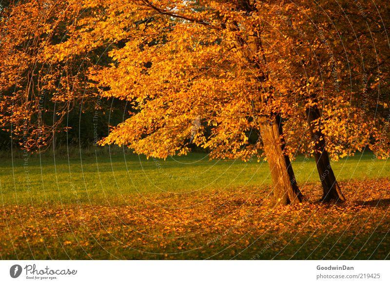 Licht. III Umwelt Natur Urelemente Erde Schönes Wetter Pflanze Baum Park alt Stimmung Herbst ruhig Farbfoto Außenaufnahme Menschenleer Dämmerung Schatten