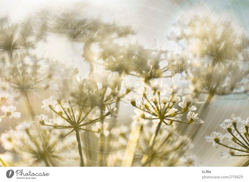 mein Bild für heute Umwelt Natur Pflanze Blühend leuchten hell Farbfoto Außenaufnahme Menschenleer Sonnenlicht Sonnenstrahlen Blüte Stengel Textfreiraum oben