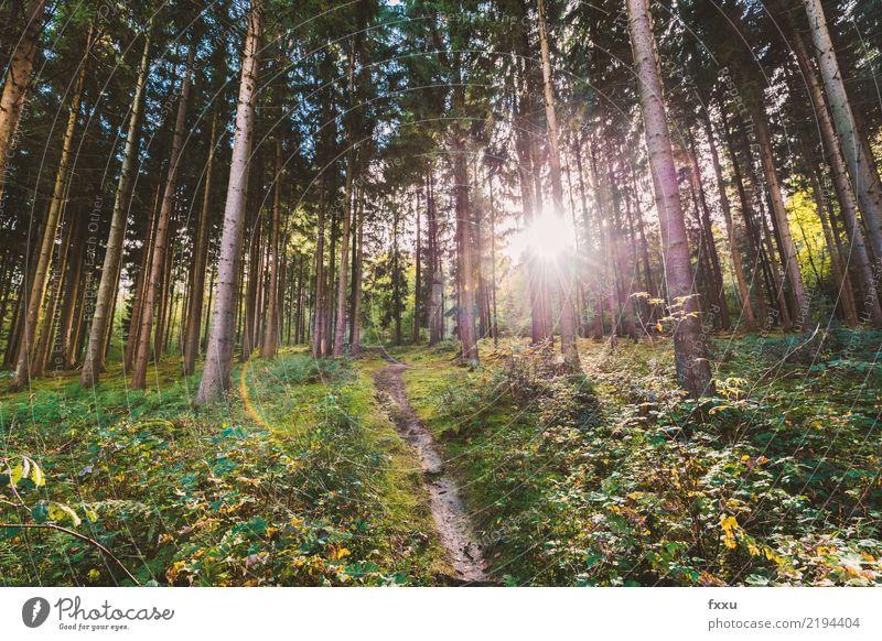 Tannenwald Rotfichte rot Sonne Gegenlicht Wege & Pfade Natur Herbstbeginn Baum Nadelbaum Landschaft wandern Menschenleer Baumstamm Lichtstimmung Verhext
