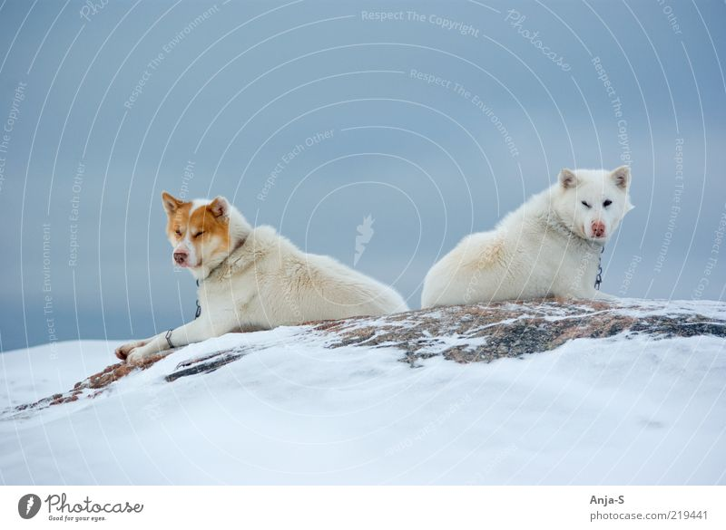 Schlittenhunde Himmel Hund Natur blau weiß Winter Tier Erholung Schnee Eis Zufriedenheit Tierpaar liegen Coolness Frost Pause