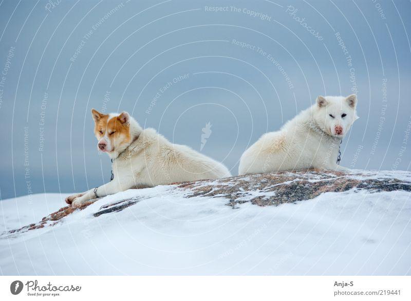 Schlittenhunde Winter Schnee Natur Himmel Eis Frost Tier Nutztier Hund 2 liegen Blick blau weiß Zufriedenheit selbstbewußt Trägheit Farbfoto Gedeckte Farben