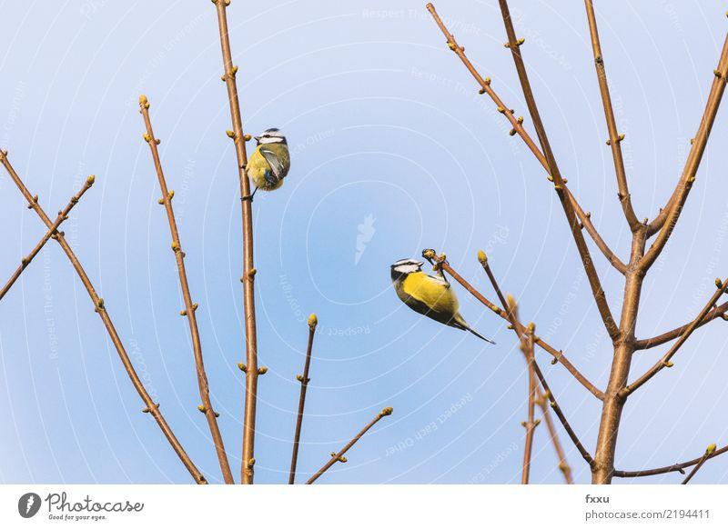 Blaumeise Natur Tier Speise Essen Vogel Feder Flügel niedlich Ast Futter Singvögel Nahrungssuche Meisen Kohlmeise