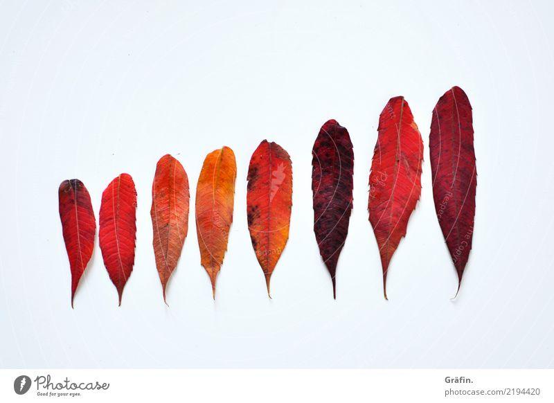 8 shades of red Umwelt Pflanze Herbst Blatt entdecken leuchten verblüht dehydrieren schön natürlich rot weiß unbeständig Farbe Natur Ordnung Umweltschutz