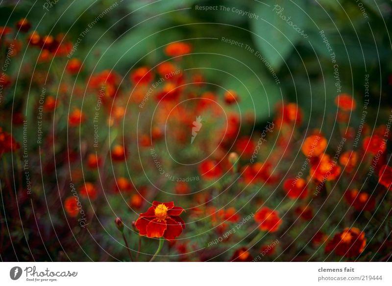 Beet Umwelt Pflanze Blume grün rot Farbfoto Außenaufnahme Menschenleer Textfreiraum oben Unschärfe Schwache Tiefenschärfe Weitwinkel viele gelb Blatt Blüte