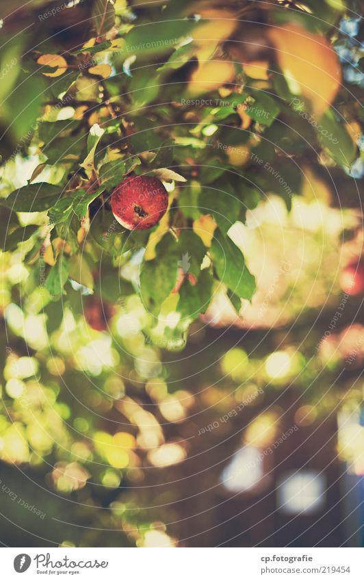 Können Vitamine Sünde sein? Umwelt Natur Pflanze Herbst Schönes Wetter Blatt Nutzpflanze Apfel Apfelbaum Frucht fruchtig Zufriedenheit Farbfoto Tag Schatten