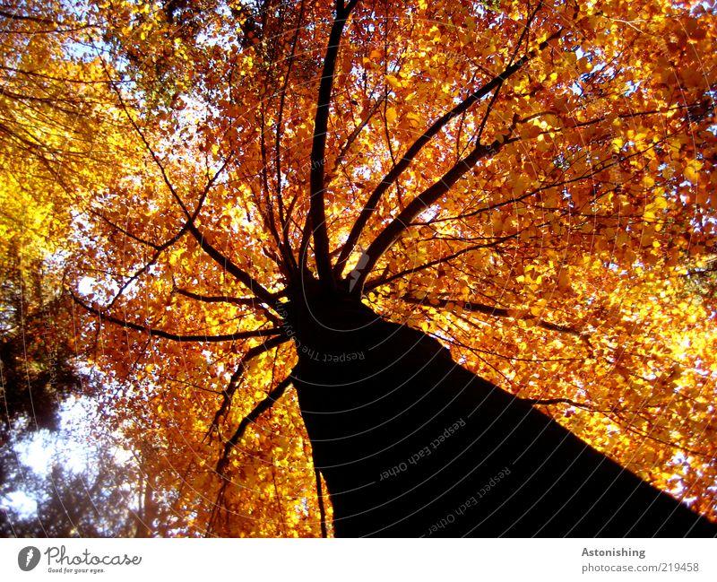 der König mit der roten Krone Himmel Natur Baum Pflanze Blatt schwarz Wald gelb Herbst Umwelt Linie Wetter braun gold hoch