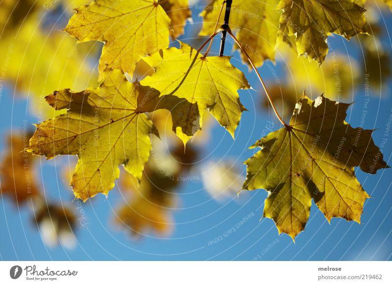 Herbstleuchten Umwelt Natur Himmel Schönes Wetter Blatt Ahornblatt blau gelb Farbfoto Gedeckte Farben Außenaufnahme Detailaufnahme Menschenleer